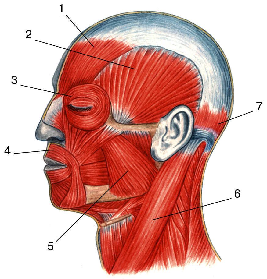 задание 2 познакомьтесь с функцией мимических мышц