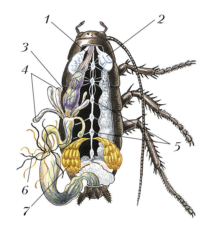 внутреннее строение таракана
